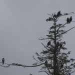 Tree full of Bald Eagles