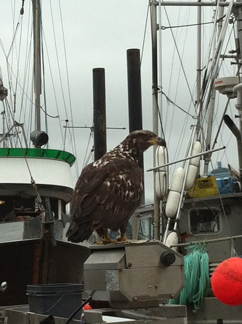dock-eagle-small